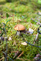 Small edible fungus with red head growing in forest in green moss