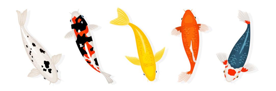 Koi carp fishes vector illustration. Japanese koi fish isolated on white background. Colored carp fish, japanese goldfish illustration