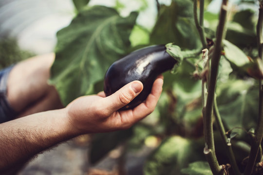 Close up shot of farmer's hand holding fresh eggplant on the stalk.