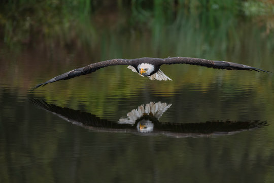 Male Bald Eagle Flying Over a Pond Casting a Beautiful Reflection in the Water with Fall Color
