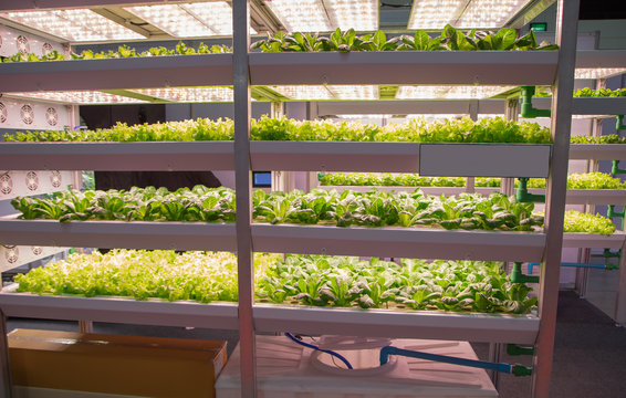 Fresh organic vegetable in indoor aquaponic or hydroponic farming with LED lighting. Food industry