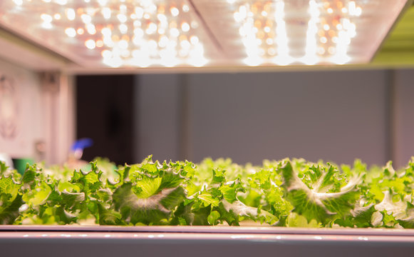 Fresh organic vegetable in indoor aquaponic or hydroponic farming. Food industry