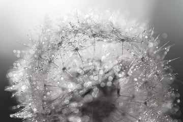 Macro photo of a dandelion with water droplets Wall mural