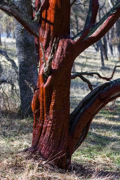 Wild manzanita tree growing with vibrant red bark.