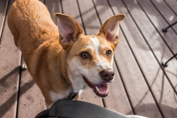 australian cattle dog on outside porch at local restaurant