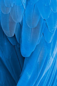 Closeup blue and gold macaw feathers
