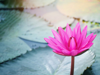 Wall Mural - pink water lily at pond in the garden