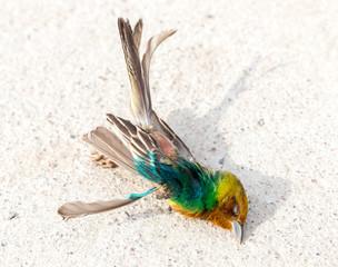 Sparrow of a dead bird on asphalt background