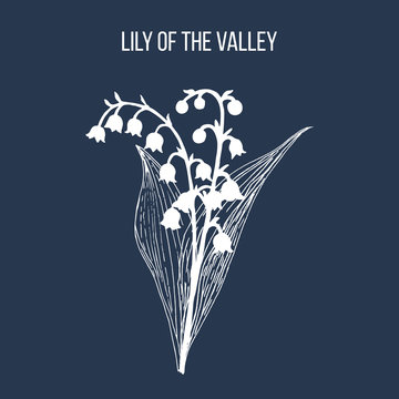 Lily of the valley Convallaria majalis , medicinal plant