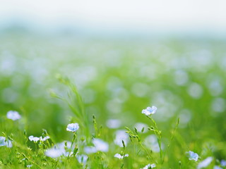 北海道の風景 亜麻の花畑