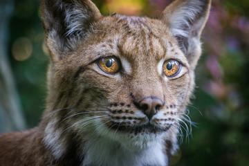 Wall Murals Lynx lynx