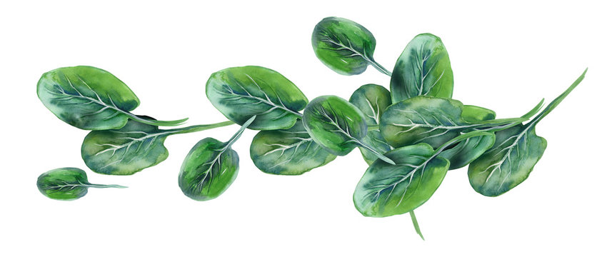 Watercolor Illustration of Spinach Leaves.