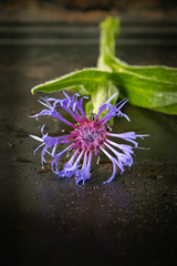 Single blue cornflower macro