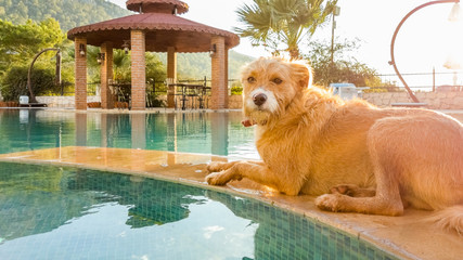 Terrier dog cooling off near the water of the swimming pool