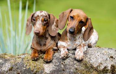 dachshund marble фтв piebald , runs along the green grass