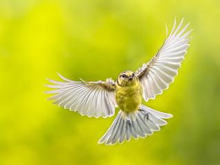 Bird in Flight on vivid green background Fotoväggar
