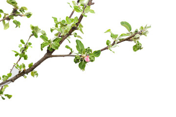 reife holly tree