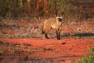 Attentive  Bat-eared fox, Otocyon megalotis,  gazing at photographer.  Fox with big ears on red ground next to den. Wild animals photography, african safari at Tsavo West national park, Kenya.