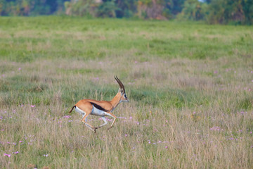 Thomson's gazelle, Eudorcas thomsonii in typical african landscape at the foot of a volcano Kilimanjaro, Amboseli national park, Kenya.