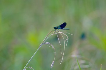 Damselflies are insects of the suborder Zygoptera in the order Odonata. All damselflies are predatory; both nymphs and adults eat other insects.