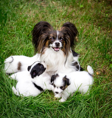 dog Papillon breeds with puppies on the grass