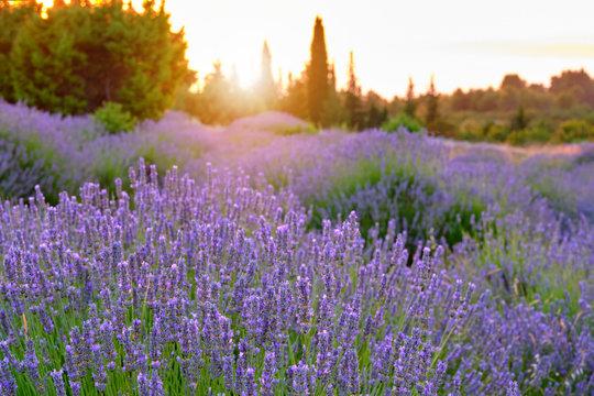 Blooming lavender field on Hvar island at sunset