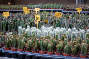 rows of cacti in a street shop