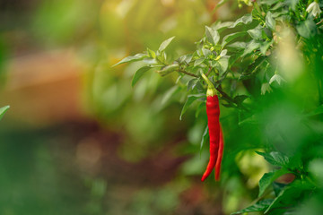 Aluminium Prints Hot chili peppers Red chili pepper grows on green branch, plantation of vegetables in greenhouse