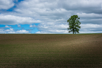 Farm field with large lone tree in background