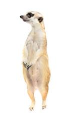 cute meerkat ( Suricata suricatta ) isolated