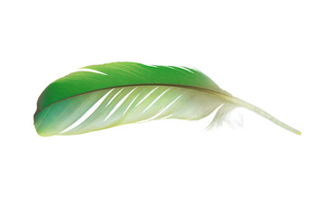 Wall Mural - Beautiful parrot lovebird feather isolated on white background