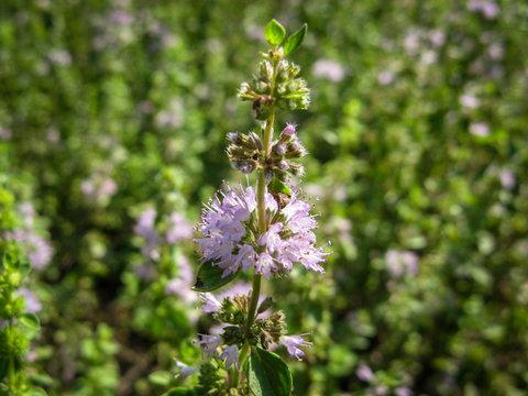 Pennyroyal  Mentha pulegium wild mint. Closeup of medicinal plant on a blurred background
