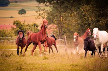 Pferde galoppieren über die Koppel
