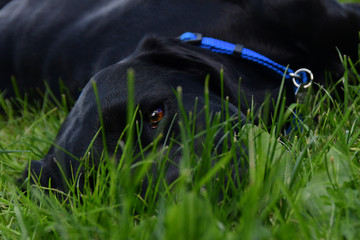 Black Lab Lying in the Grass