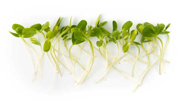 Row of fresh micro greens sprouts on white background.