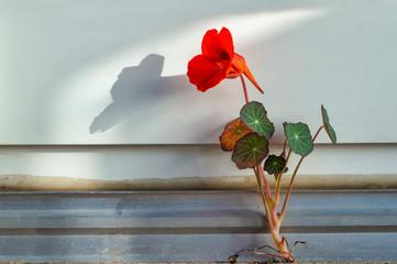 Kapuzinerkresse mit Schatten