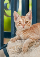 Cute young red tabby cat kitten posing on a wall in front of a blue iron garden fence looking curiously with orange colored eyes, Cyprus