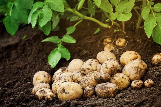 Heap of fresh potato on the ground. Organic farming products
