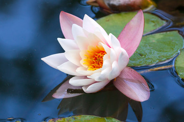 Wall Murals Water lilies Closeup shot of white lotus (water lily) on surface of pond or lake