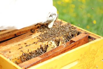 Imker vor offenem Bienenstock