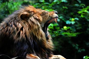 Lion yawn/roar Wall mural