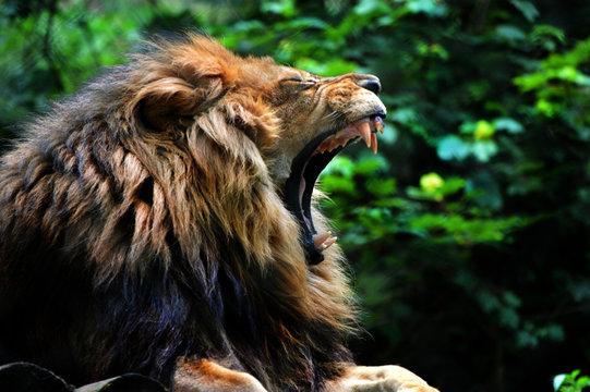 Lion yawn/roar