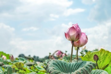 Garden Poster Lotus flower beautiful lotus flower on the farm is blossom in Thailand with blurred sky background
