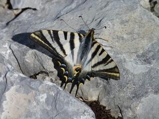 Scarce Swallowtail butterfly, Sierra de Grazalema, Spain