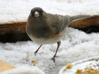Close-up of a Dark eyed junco in winter, standing in the snow.