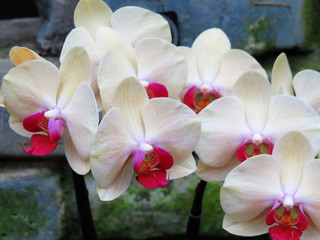 Orchid Flowers with white petals and a pink center