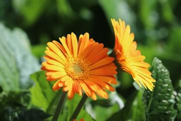 Orange sunflower with sunshine
