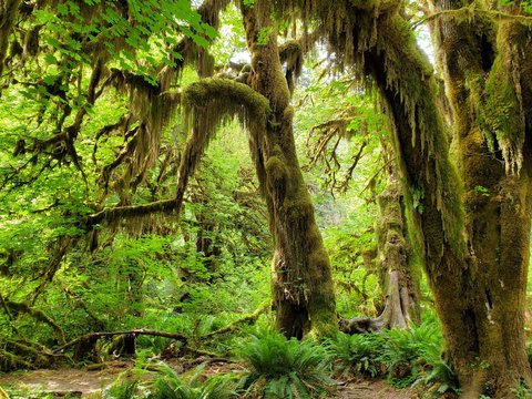 Hoh Rain Forest, located near the Olympic Peninsula in western Washington State, North America. Hall of Mosses trail, American National Park. Protected Rain Forest with Giant Trees