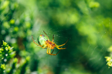 Spider on its web between green plants in the garden.