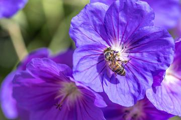 Honeybee collecting nectar pollen from a purple Geranium Rozanne, also known as Gerwat or JollyBee